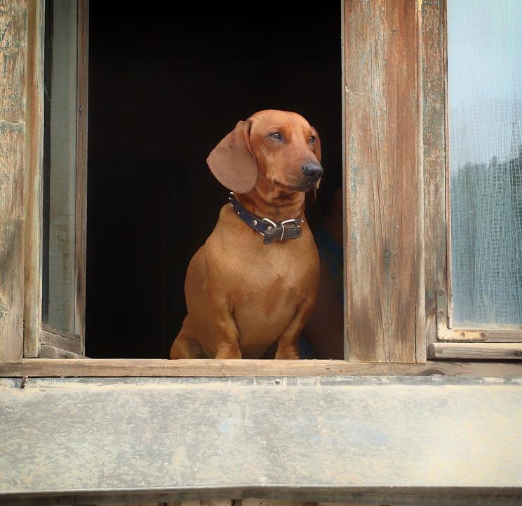 dachshund-345698_960_720